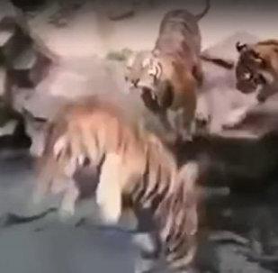 怎样给老虎洗澡?