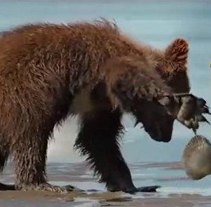 小灰熊被贝壳夹住