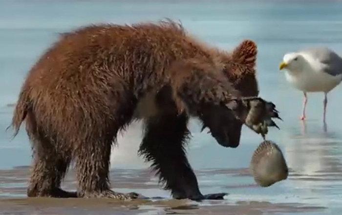 小灰熊被貝殼夾住