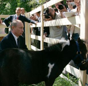 俄羅斯總統普京和在喀山獲贈的迷你馬「瓦季克」