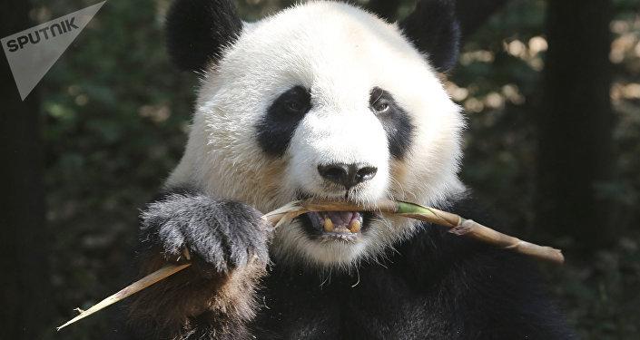 香港两只大熊猫或被送回四川老家