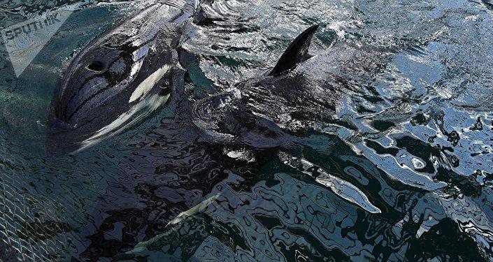 """""""鲸鱼监狱""""放生虎鲸在水中""""欢腾嬉戏"""""""