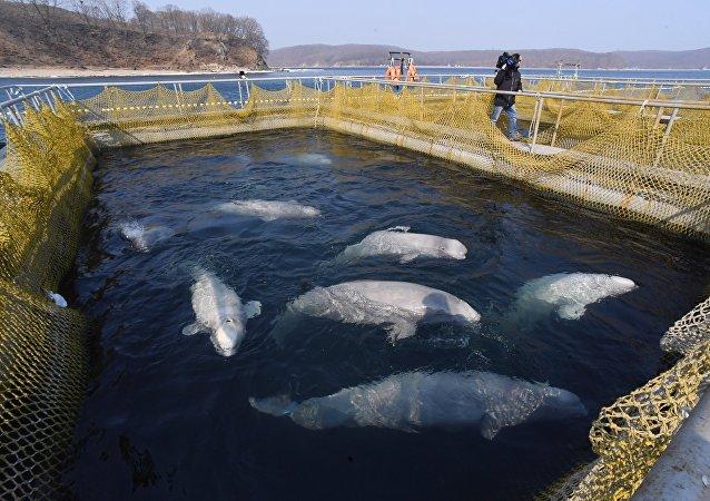 专家:需为囚禁在俄远东的虎鲸和白鲸制定特别放归计划