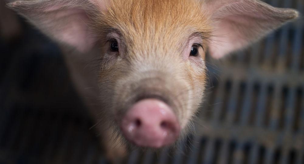 韩国出现第10例非洲猪瘟确诊病例