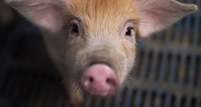 犹太自治州海关扣留携带非洲猪瘟病毒基因的香肠