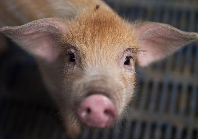 韓國出現第10例非洲豬瘟確診病例