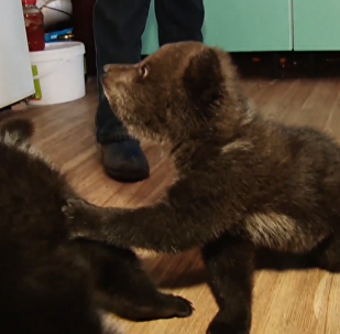 俄罗斯三只小熊被伐木者救出