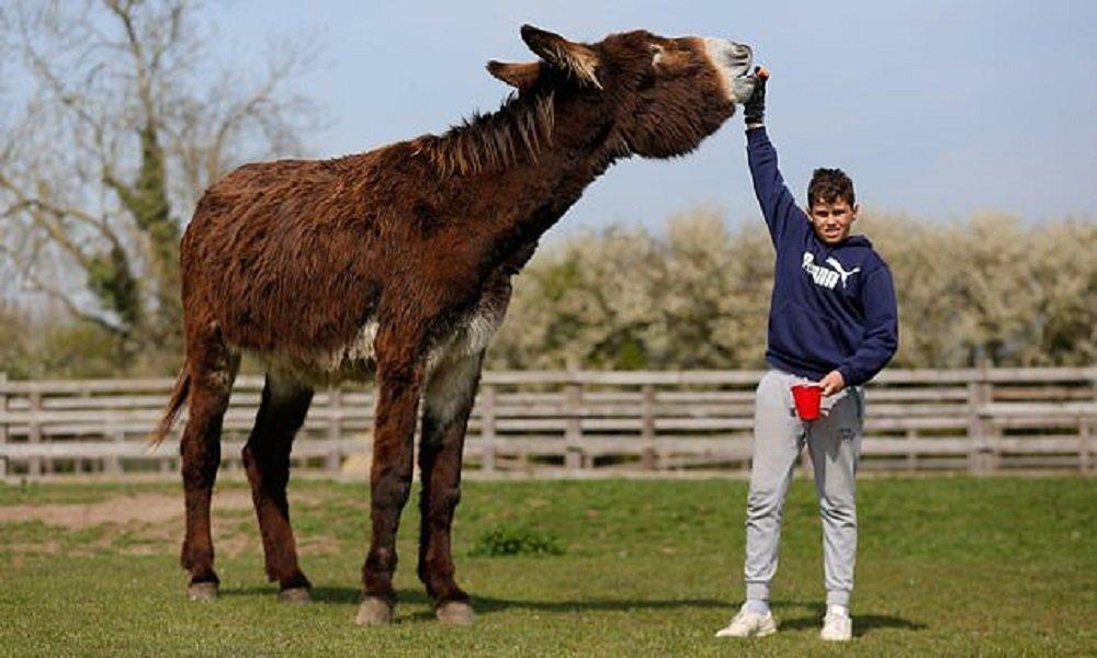 英国发现巨型驴