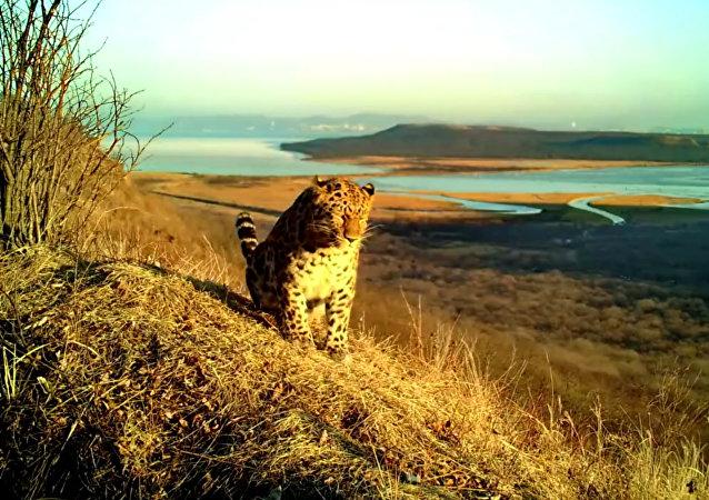 Дикие леопард и тигр сфотографировались во Владивостоке