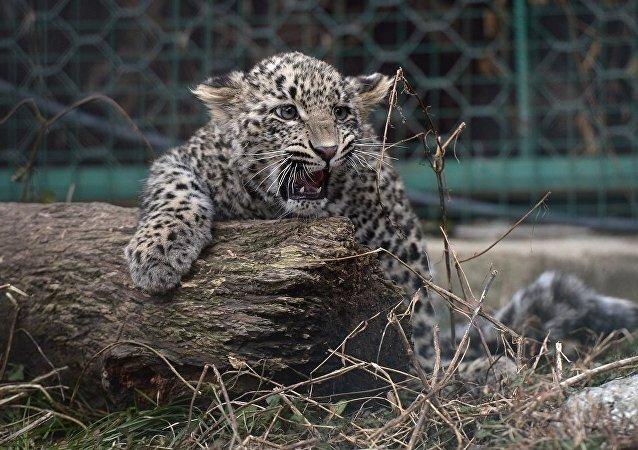 普京2014年曾抱過的波斯豹幼崽現在生活在法國