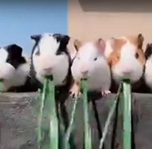 谁会赢?豚鼠比赛吃草