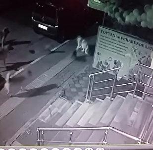 一只猫赶走了六条狗