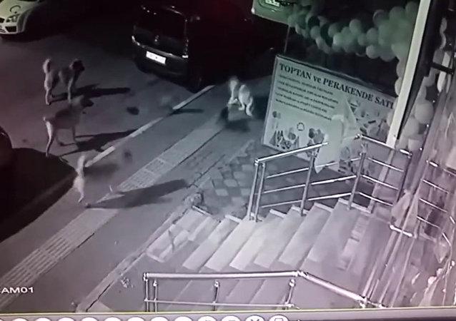 一隻貓趕走了六條狗