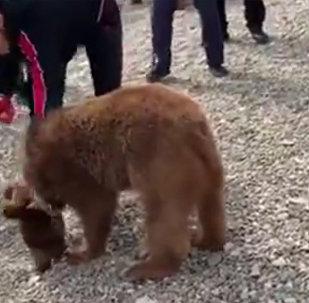 俄格斗手努尔马戈梅多夫再次与熊博斗
