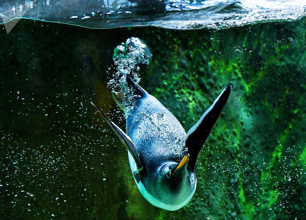 莫斯科动物园的企鹅。