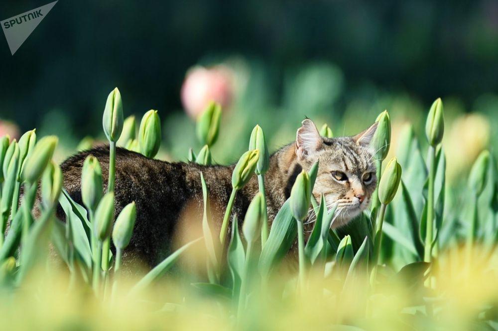 克里米亚尼基塔植物园郁金香花坛里的一只猫。