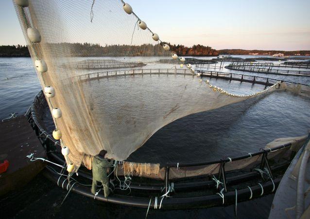 鮭魚養殖場