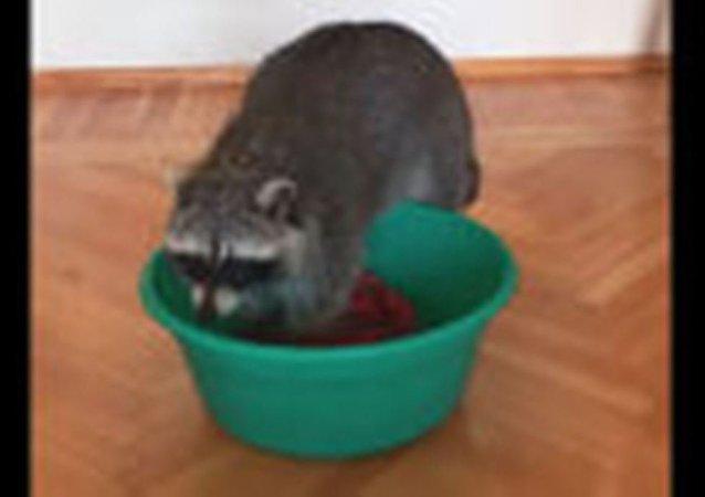 被委托洗衣服:家里的浣熊开始洗衣服