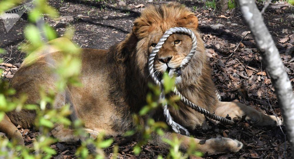 巴基斯坦一老闆放獅子攻擊討薪電工