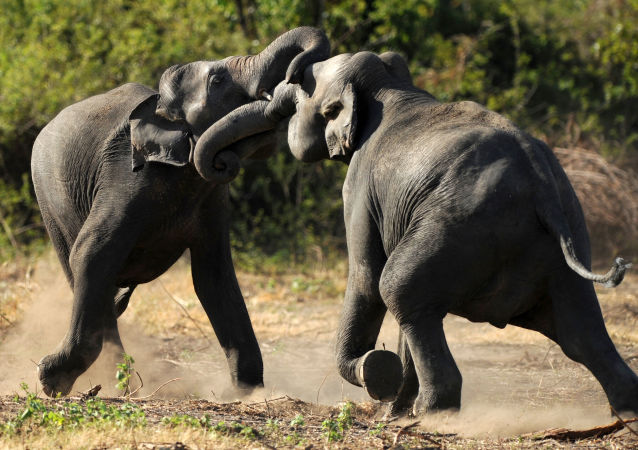 云南三人遭到野生大象袭击身亡