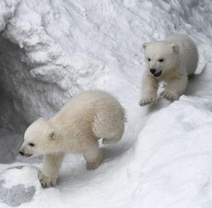西伯利亞小北極熊人造雪玩嗨了(視頻)