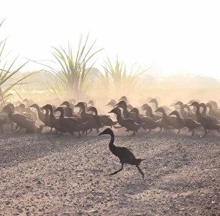 3000只鴨子同時過馬路
