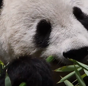 維也納動物園為大熊貓舉行迎接儀式