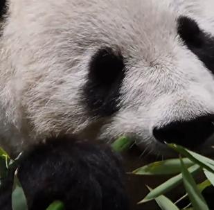 维也纳动物园为大熊猫举行迎接仪式