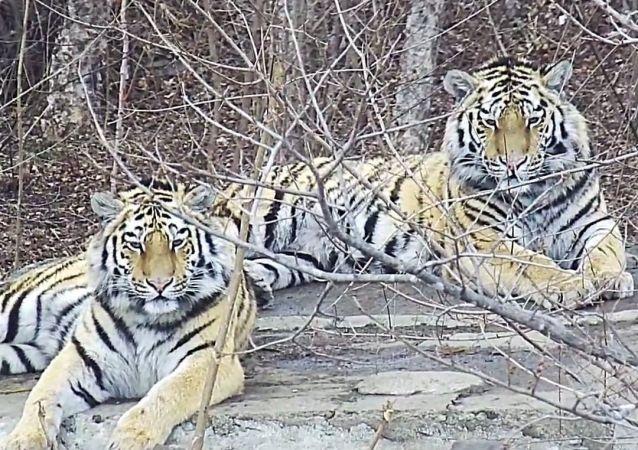 由20只阿穆尔虎组成的虎群可能栖息朝鲜
