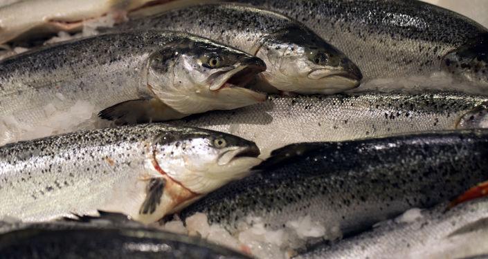 挪威北部海藻開花導致約1萬噸鮭魚死亡