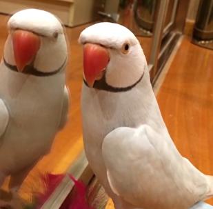 可愛鸚鵡對鏡喊自己名字