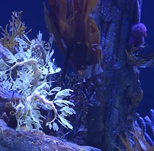 南加州為海龍建造棲息地