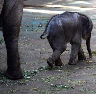 心疼!小象跟随驮客象群累倒在地
