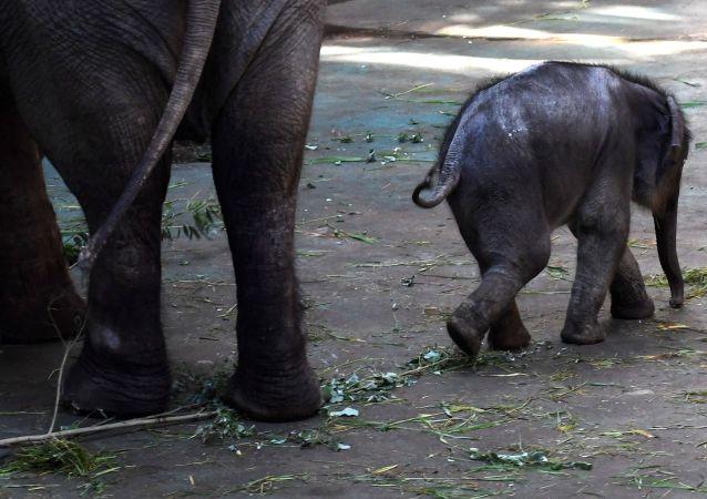 心疼!小象跟隨馱客象群累倒在地