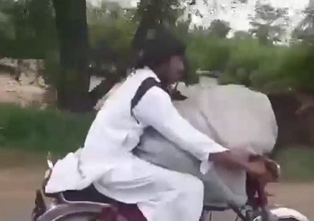 巴基斯坦男子骑摩托载奶牛