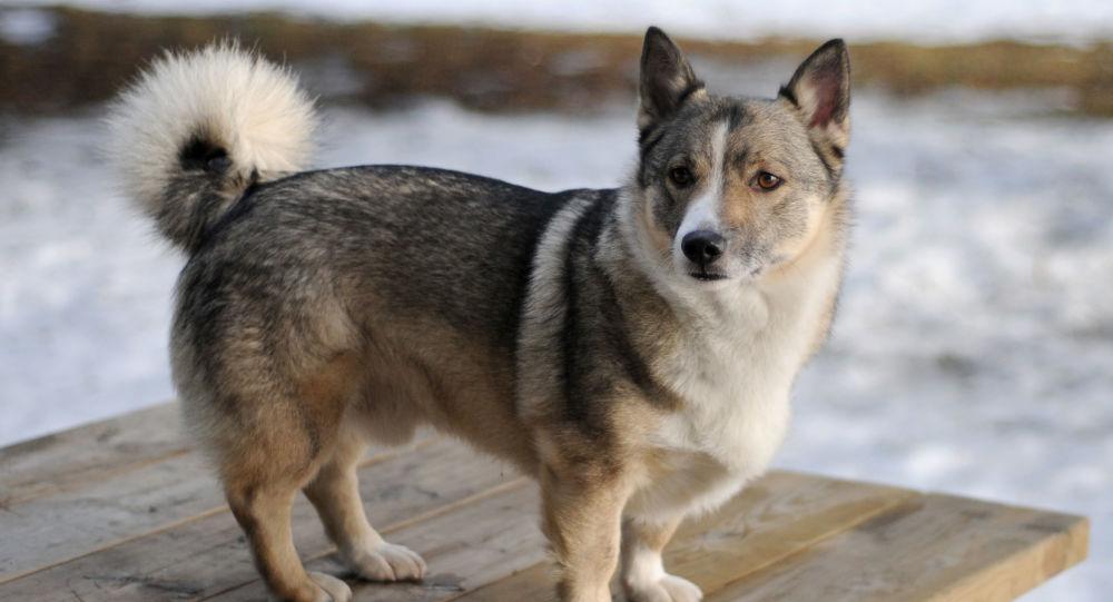 可爱又可怕:有狼性的柯基犬