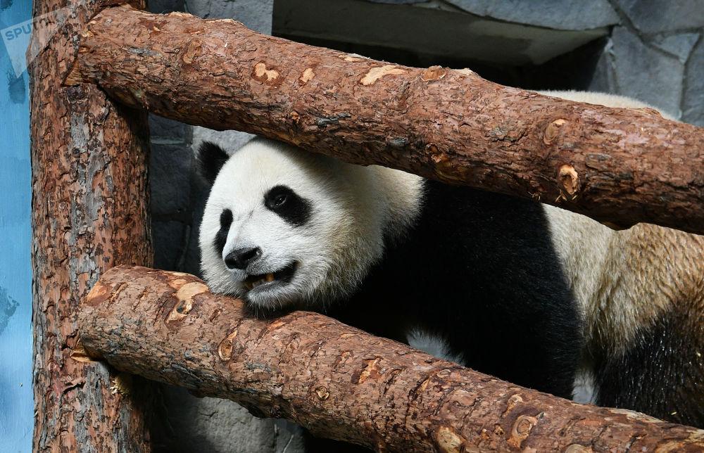 大熊貓亮相莫斯科動物園