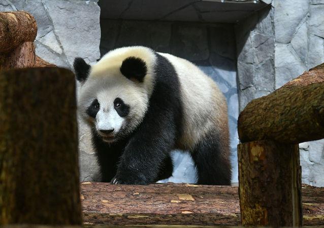 莫斯科動物園將放映有關中國大熊貓的電影