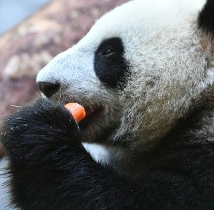 旅俄大熊猫分舍而居 预计将在未来2-3年相见