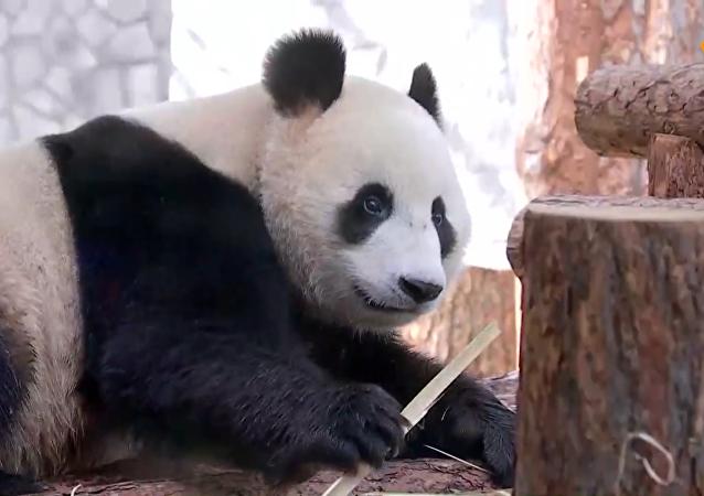 普京和習近平現身莫斯科動物園熊貓館
