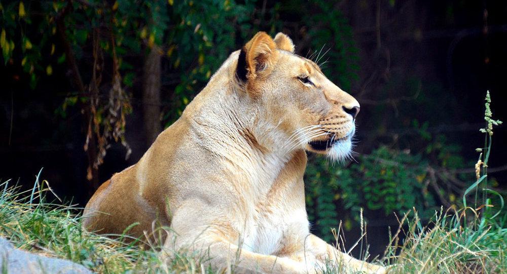 世界上最大的貓科動物:重320公斤的獅虎獸