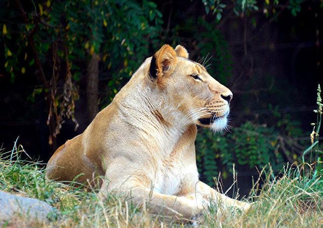 世界上最大的猫科动物:重320公斤的狮虎兽