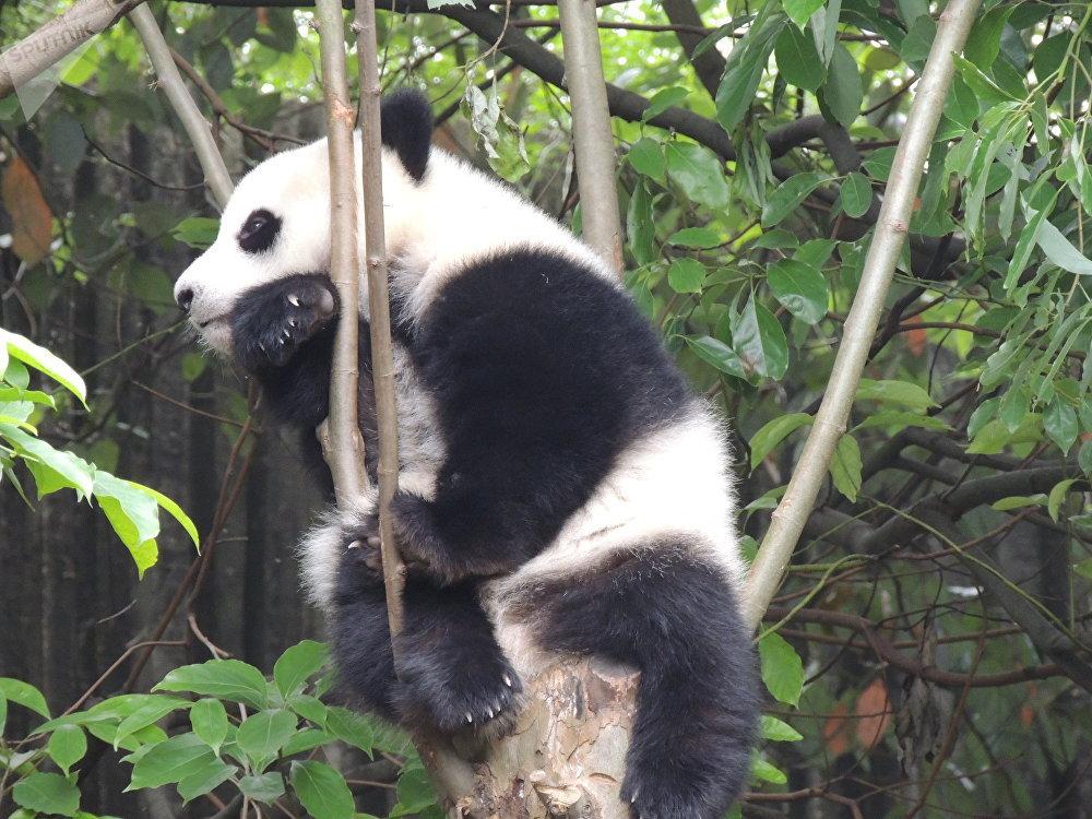 成都大熊猫繁育研究基地