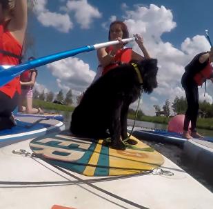 雙倍歡樂:狗狗參加SUP槳板衝浪賽