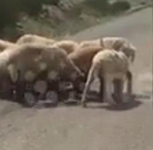 中国的一群绵羊为救同伴挡住了路