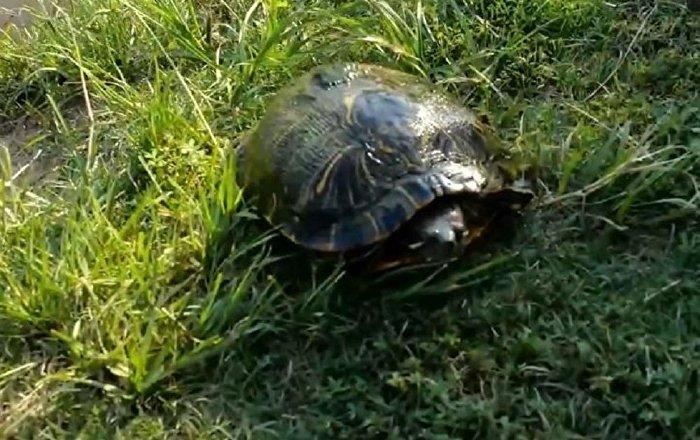 美国男子给乌龟带上摄像头惊倒网民