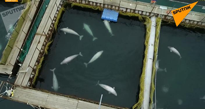 俄「鯨魚監獄」首批虎鯨白鯨已被送至放歸點