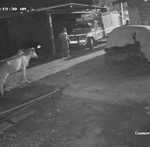 印度居民用木棍趕走獅子