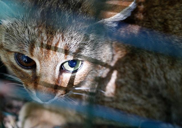 神秘的貓狸可能是一種新物種