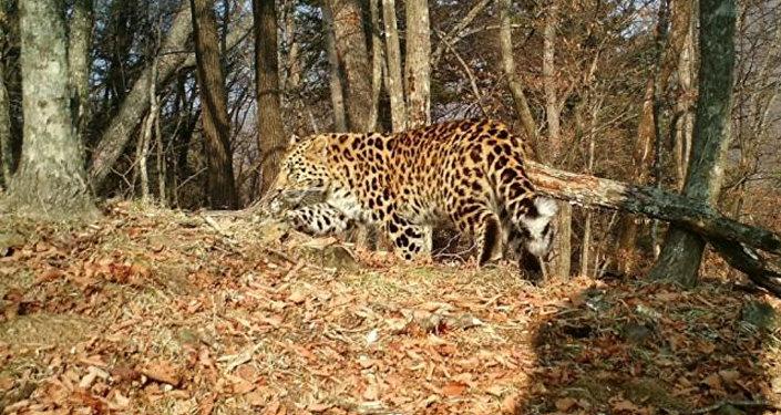 濱海邊疆區一頭豹子在俄中邊境口岸附近「迷路」